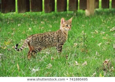 chat · regarder · Maine · yeux · verts · vers · le · bas · noir - photo stock © arenacreative