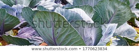 mavi · lahana · tahta · tablo · kırmızı · sebze - stok fotoğraf © juniart