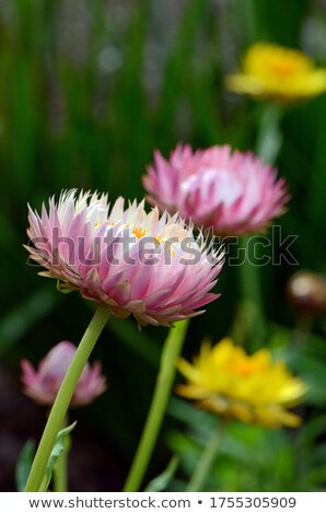 Pink White Helichrysum Paper daisy Strawflower Flower Stock photo © stocker
