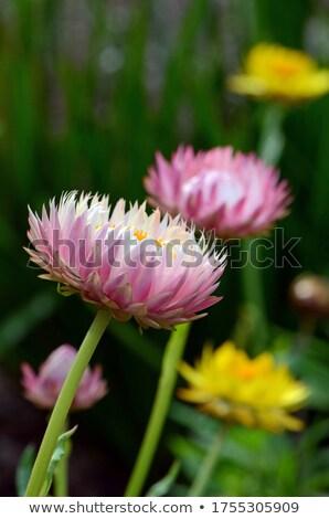 ピンク 白 紙 デイジーチェーン 花 クローズアップ ストックフォト © stocker