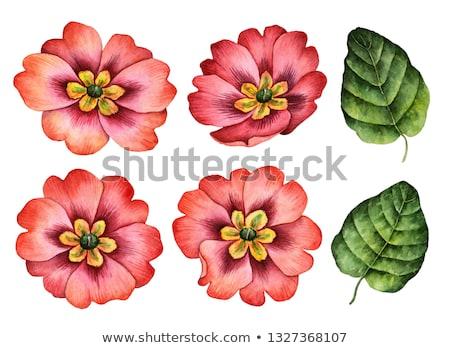 Virágok kankalin színes nagyobb csoport tavaszi virág háttér Stock fotó © Marfot