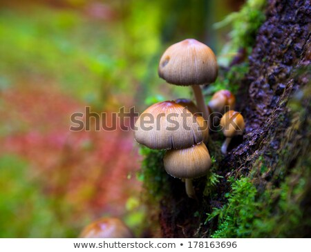 psilocybe mushrooms in a beech tree trunk at irati pyrenees stock photo © lunamarina