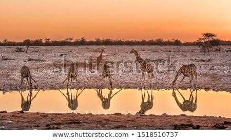 zürafa · safari · park · Namibya · yürüyüş · doğa - stok fotoğraf © imagex