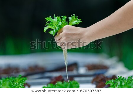 organic hydroponic vegetable on hand stock photo © stoonn