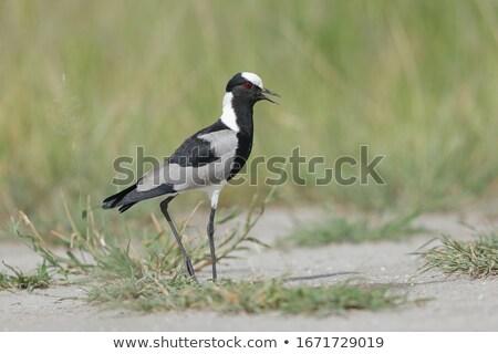 Kovács delta Botswana fű természet madár Stock fotó © dirkr
