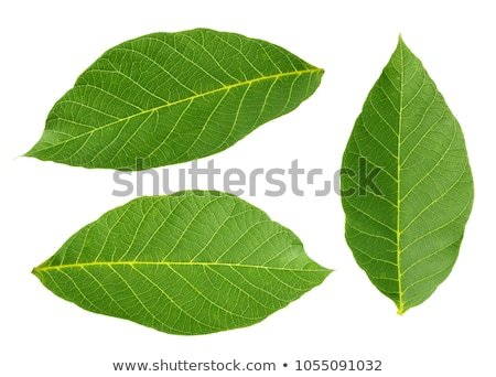 walnut and leaves stock photo © mady70