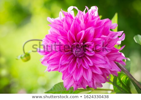Vers dahlia tuin roze mooie groei Stockfoto © tilo