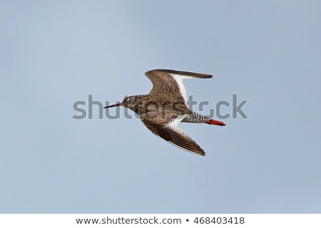 Flying redshank Stock photo © ivonnewierink