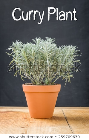 Curry Plant in a clay pot on a dark background Stock photo © Zerbor