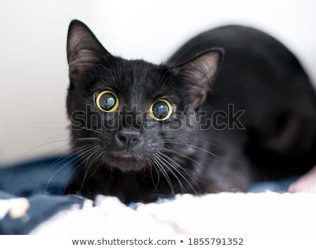 kitty  glaring eyes stock photo © Sonar