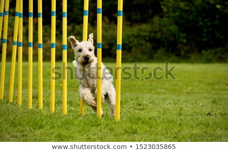 Soft coated terrier dog Stock photo © eriklam
