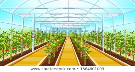 Green tomatoes in the greenhouse Stock photo © Valeriy