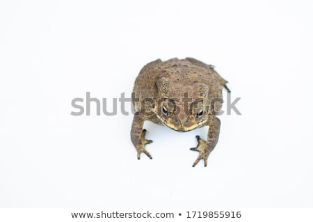 Stock photo: A toad from Thailand on a white background