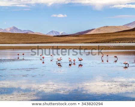 pink flamingos in wild nature of bolivia eduardo avaroa nationa stock photo © meinzahn