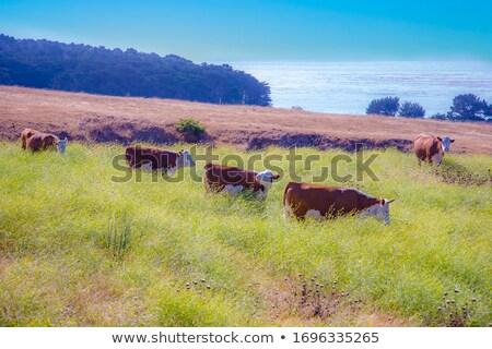 Tehenek horzsolás friss fű legelő park Stock fotó © meinzahn