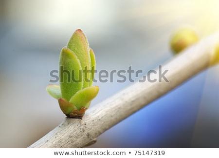зеленый бутон дерево подробность Сток-фото © meinzahn