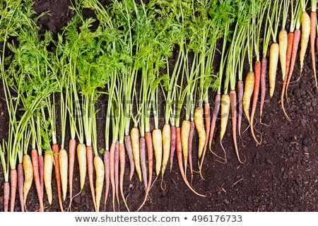 Carrots arranged in a diagonal line on rich soil Stock photo © ozgur