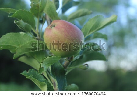Pomme arbre fruitier rouge pommes Photo stock © Lightsource