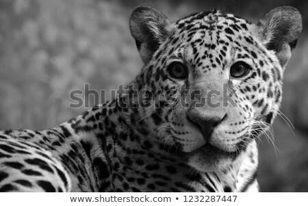 Yürüyüş bebek leopar siyah beyaz park Güney Afrika Stok fotoğraf © simoneeman