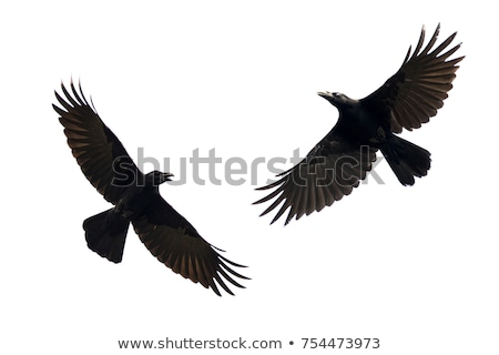 Isolated Hooded Crow Stock photo © peterguess
