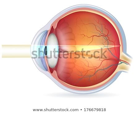 Anatómia szem keresztmetszet kilátás részletes illusztráció Stock fotó © Tefi