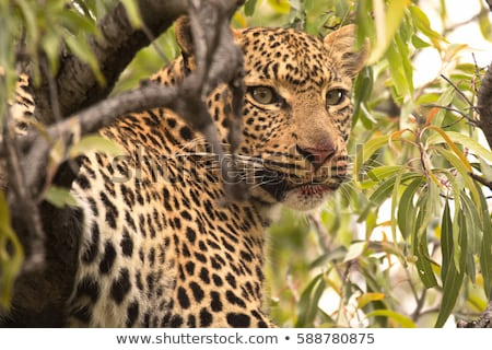 Feeding Leopard in the Kruger National Park, South Africa. Stock photo © simoneeman