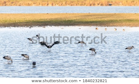 Geese in Grasslands National Park of Canada  Stock photo © benkrut