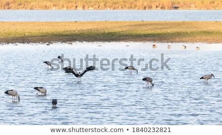 Gansos parque Canadá saskatchewan família natureza Foto stock © benkrut