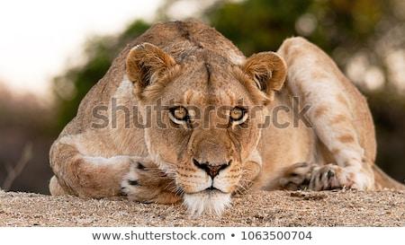 Selvatico african fauna selvatica illustrazione bianco spiaggia Foto d'archivio © ajlber
