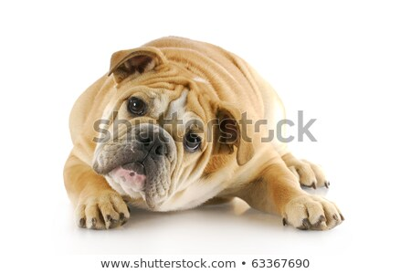 side view of an english bulldog puppy laying down Stock photo © feedough