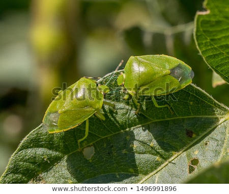 Stink bug eating leaf Stock photo © backyardproductions