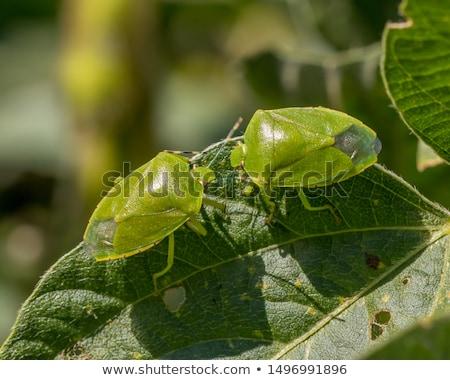 stink bug eating leaf stock photo © backyardproductions