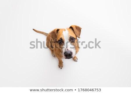 Terriyer köpek portre park kuzey Stok fotoğraf © yhelfman