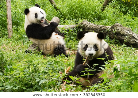 Two pandas in bamboo forest Stock photo © colematt
