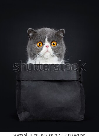 Stockfoto: Funny Exotic Shorthair Sitting In Black Paper Bag Looking Straight Ahead To Camera With Big Orange