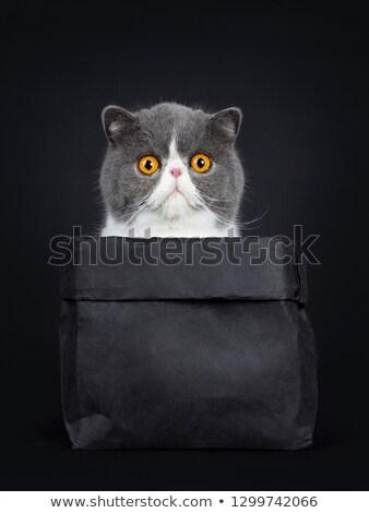 смешные экзотический короткошерстная сидят черный Сток-фото © CatchyImages