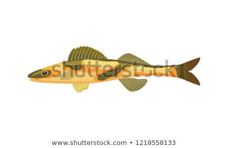 Cirrhitops Fasciatus Hawkfish Vector Illustration Stock photo © robuart