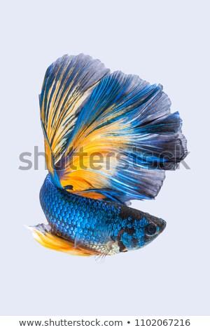 Dark Blue Fish Isolated on White, Water animal Stock photo © robuart