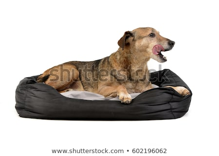 An adorable mixed breed dog lying on a duvet Stock photo © vauvau