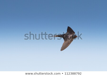 Flying swallows against the sky Stock photo © mayboro