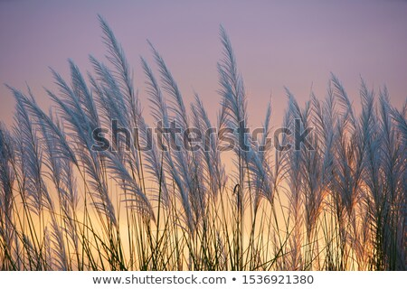 Wild Grasses Blowing In The Wind Stock photo © bendicks
