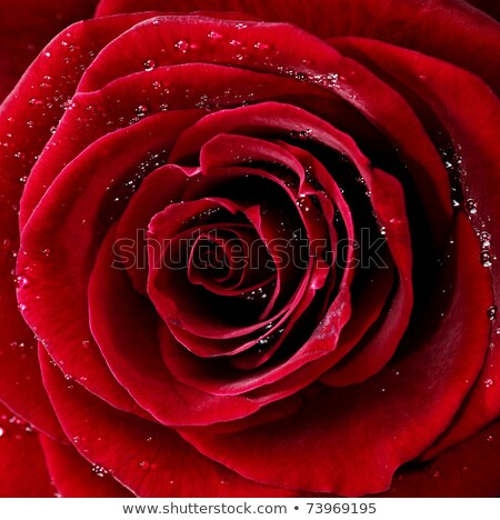 Foto stock: Red Rose In Water Drops Macro Photo