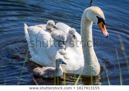 母親 白鳥 赤ちゃん 黒 ひよこ 水 ストックフォト © Sportlibrary