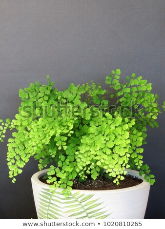 Maidenhair Fern Leaves Closeup Stock photo © mnsanthoshkumar
