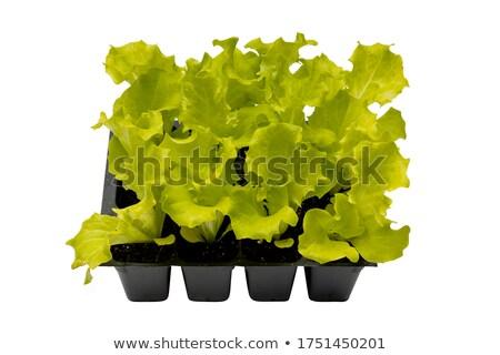 vert · laitue · salade · 12 · alimentaire · feuille - photo stock © TheProphet