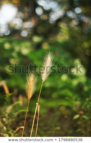 Hare Barley Background stock photo © suliel