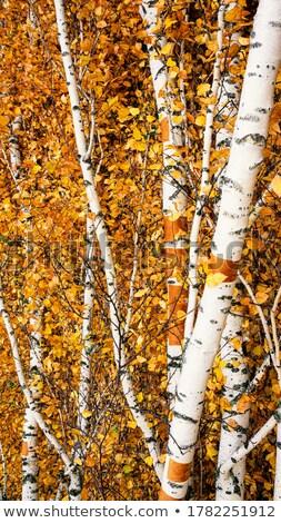 Autunno betulla albero spoglio sereno giorno Foto d'archivio © nailiaschwarz