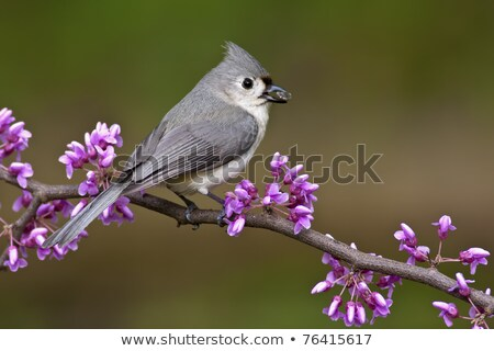 Tufted Titmouse with Sunflower Seed Stock photo © 2tun