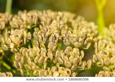 fresh parsley root on market outdoor macro Stock photo © juniart