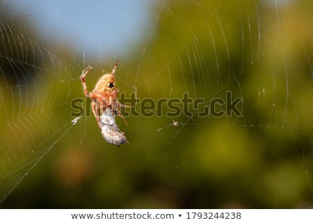 Orb Weaver Spider and Bee Stock photo © rhamm